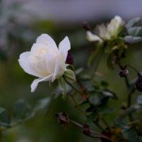 роза белая :: Александр Деревяшкин