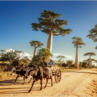 Мадагаскар,долина баобабов,заход солнца и люди... :: Александр Вивчарик