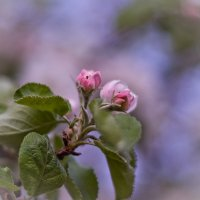 Яблоневый цвет :: Наталья Ковальчук