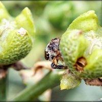 Багира Киплинга - eдинственный в природе паук вегетарианец :: Elena Spezia
