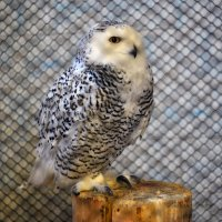 полярная сова :: Анастасия Иноземцева