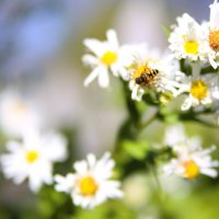 Пчелка на ромашке :: Елена Ф.