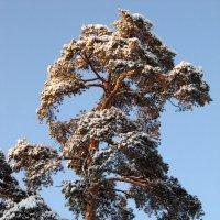 Сосна зимой :: Вера Щукина