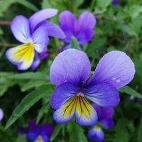 Нежно-малые цветочки... :: Елена Ярова