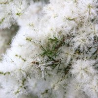 Мелалеука,мelaleuca alternifolia,чайное дерево :: Антонина