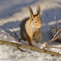 Что-то лапка замёрзла! :: Виктор Евстратов