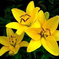 Три жёлтых лилии. :: Лия ☼