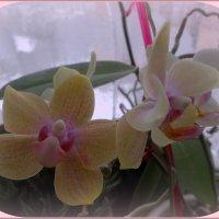 Орхидея :: Вера