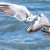 Чайка :: Алексей Сазонов