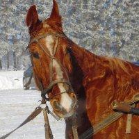 Хороша лошадка. :: nadyasilyuk Вознюк
