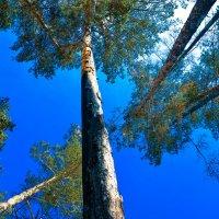 Небо из лесу :: Сергей Алексеев