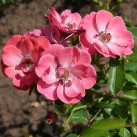 Розы :: Наталья Тагирова