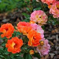 За цветущею розой колючею... :: Mari Kush
