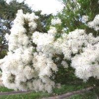 Цветет чайное дерево :: Антонина