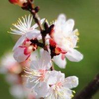 1 марта зацвели абрикосы :: Marina K