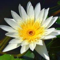 Цветы Таиланда - лилия :: Дмитрий Боргер