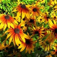 Солнечные цветы :: Сергей Карачин