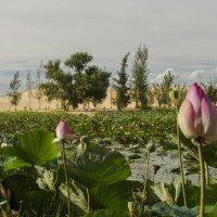 Озеро Лотосов :: Марина Мудрова