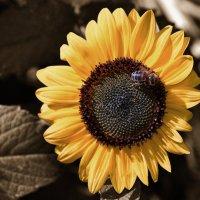 Вечная пчела :: Валерьян Бек (Хуснутдинов)