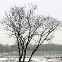Дерево на берегу реки :: Геннадий Храмцов