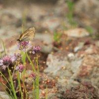 бабочка :: Ольга Седых