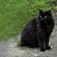 Чёрный кот :: Ольга Фролова