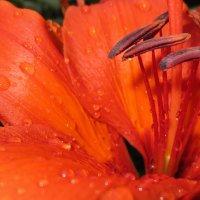 Лилия после дождя :: Зуля Нигаматулина