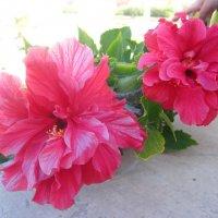 Суданские розы :: Lukum