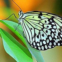 Бабочка. :: оля san-alondra