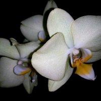 орхидея :: Евгения Eva