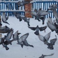 голуби :: Alexandr Staroverov