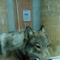 Северный волк. :: Светлана Калмыкова