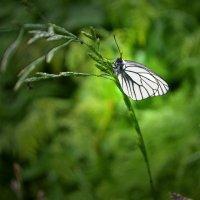 Бабочка-капустница :: Татьяна Соловьева