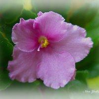 Розовая фиалка (расцвела на моём окне) :: Nina Yudicheva