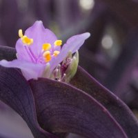 традесканция фиолетовая весной :: Александр Деревяшкин