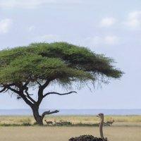 Африканский страус :: Марина Мудрова