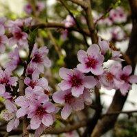 Персик цветет :: Светлана