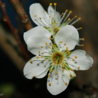 *Цветет яблоня!* :: Ольга Евдокимова