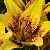 Жёлто-пятнистая лилия :: Paparazzi