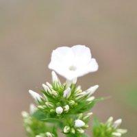 Белый цветок редьки :: Сергей Тагиров