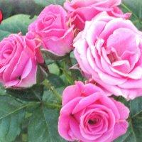 Розы для любимых подруг... :: Тамара (st.tamara)