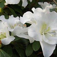 Азалия- цветок страсти :: Елена Павлова (Смолова)