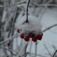 Калина в снегу) :: Екатерина
