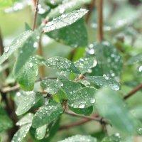 Капли дождя на листьях кустарника :: Сергей Тагиров