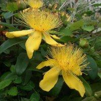 Цветы зверобоя :: Natalia Harries