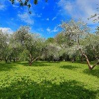 яблоневый сад коломенское :: юрий макаров