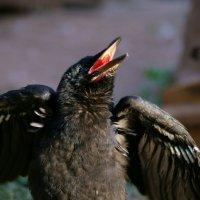ворона - самая верная птица. :: Алина Фомина