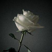роза белая... :: Виктория Гринченко