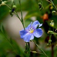 Цветочек голубенький :: Дарья *******