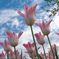 Тюльпаны :: Александр Максимов